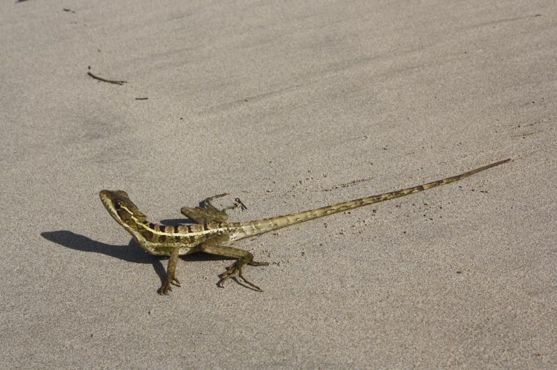'Jesus' Lizard - these critters have this nickname because they can run so fast on their back legs they can run across water for significant distances without sinking, essentially they can 'walk on water.'